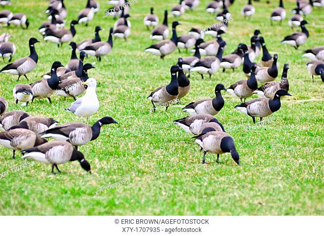 A lone gull in a sea of geese