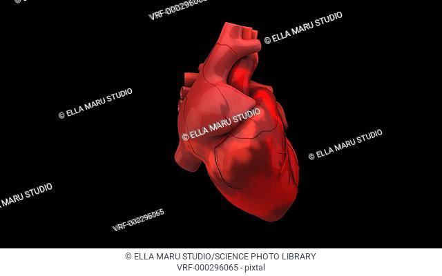 Animation of the rotating human heart