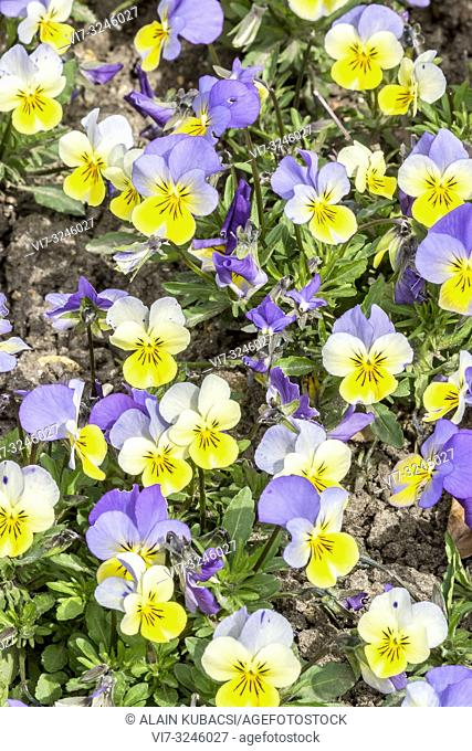 Pansy / Viola wittrockiana Rebel 'Blue and Yellow'