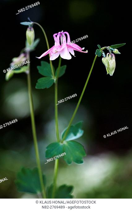 European columbine, Common columbine, Granny's nightcap, or Granny's bonnet (Aquilegia vulgaris) blooming on forest glade - Region Hesselberg, Bavaria/Germany