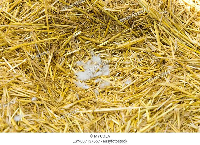 empty nest of hen from a straw with feathers