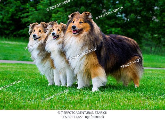 3 Shetland Sheepdogs