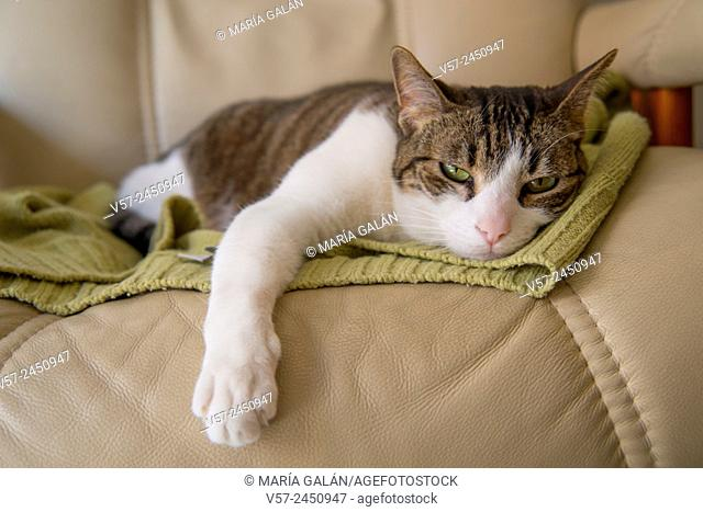 Sleepy cat lying on an armchair
