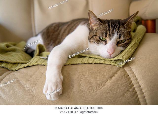 Sleepy cat lying on an armchair