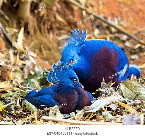 Exotic Bird Goura Victoria