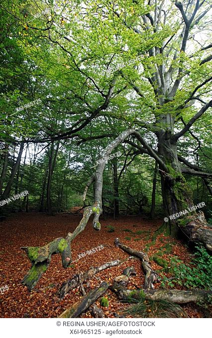 Ancient Forest in early autumn, Sababurg National Park, North Hessen, Germany
