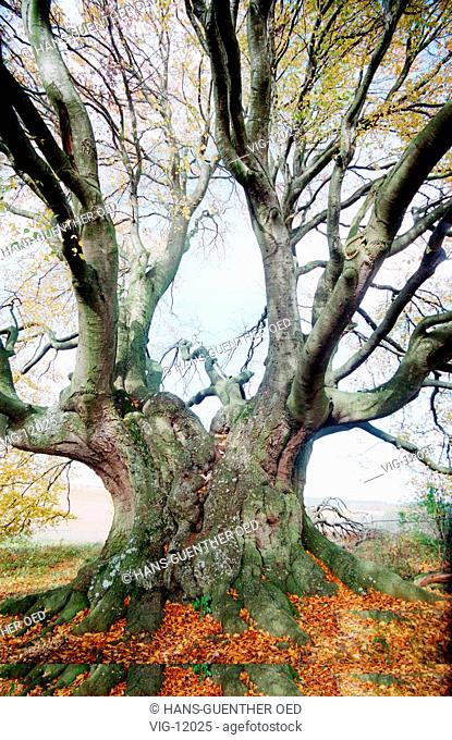 Probably the largest and oldest beech tree in Germany. - PONDORF, GERMANY, 21/10/1998