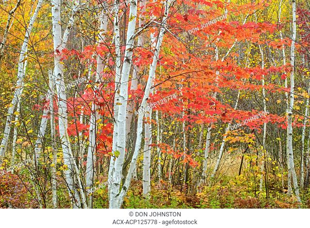 Birch tree trunks and red maple in autumn, Kalmo Park Conservation Area, Val Caron, Greater Sudbury, Ontario, Canada