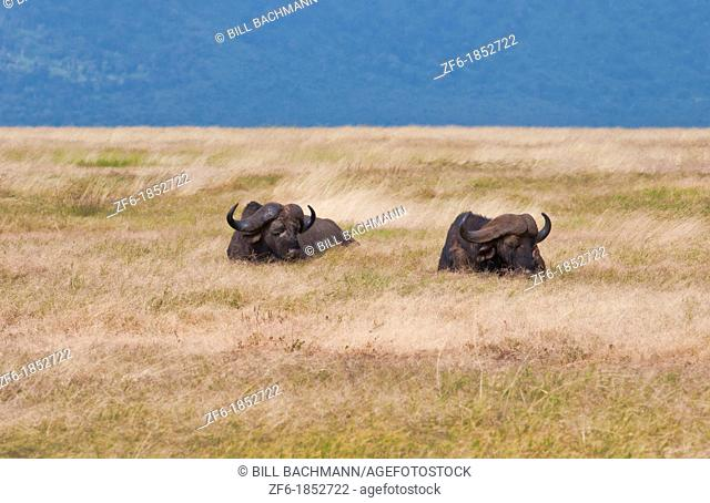 Tanzania Africa Ngorongoro Conservation Area crater in reserve colorful cape buffaos resting in grass with animals in wild safari