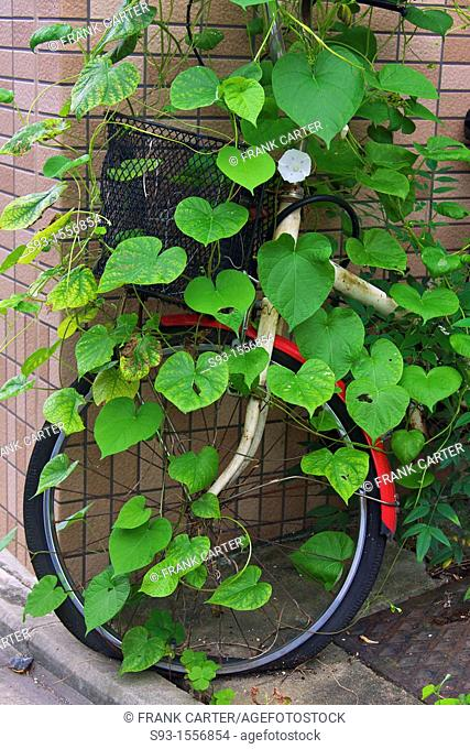 A bicycle that has been parked for too long, with a vine growing all over it
