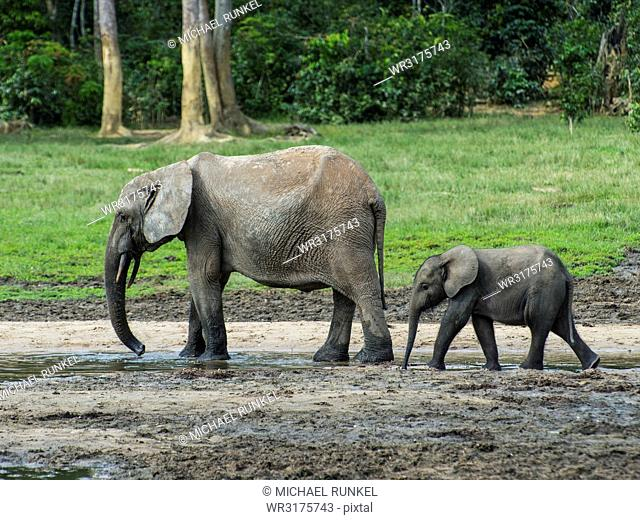 African forest elephant (Loxodonta cyclotis) with baby , Dzanga Bai, UNESCO World Heritage Site, Dzanga-Sangha Special Reserve, Central African Republic, Africa