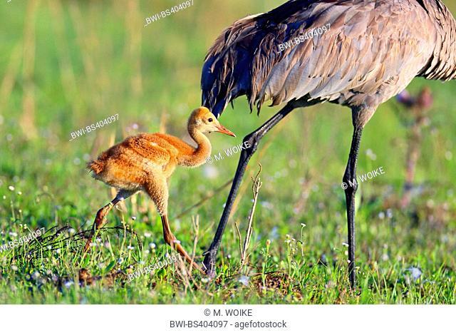 sandhill crane (Grus canadensis), chick walks beside adult, USA, Florida, Kissimmee