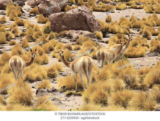 Chile, Antofagasta Region, Atacama Desert, vicunas, vicugna vicugna,