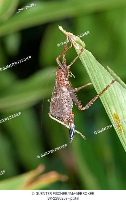 Spiny lobster Bush cricket (Panoploscelis specularis), Katydid, female, Tiputini rain forest, Yasuni National Park, Ecuador, South America