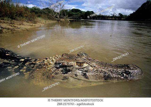 Melanosuchus niger. Black caiman in Simoni creek. Rupununi area. Guyana