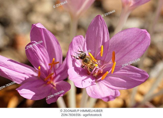 Colchicum autumnale, Herbstzeitlose, Naked lady, mit Biene