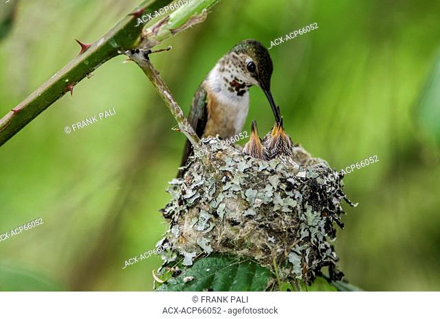 Baby humming birds (Selasphorus rufus) with mom, Omak, Okanogan Highlands, Washington, United States of America