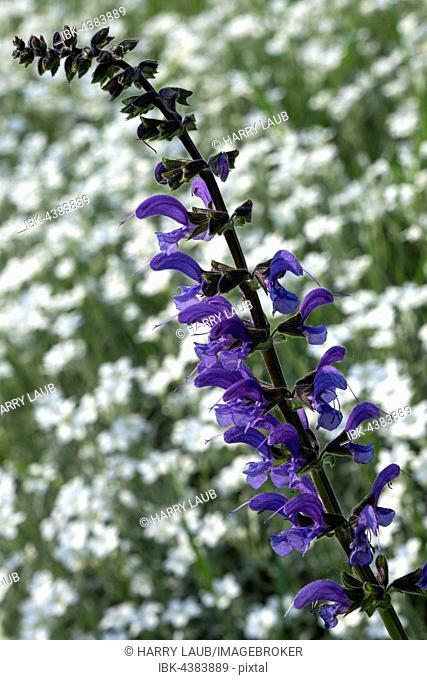 Meadow clary or meadow sage (Salvia pratensis), dead-nettle (Lamium sp.), blue, Baden-Württemberg, Germany
