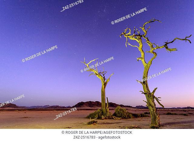 Desert scenery, the Milky Way and dead camel thorn, giraffe thorn (Vachellia erioloba) trees at night. Sossusvlei. Namib-Naukluft National Park