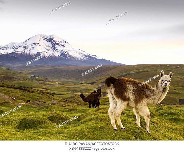 Ecuador, Chimorazo volcan and llama