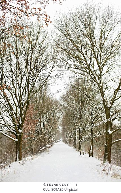 Avenue of trees in winter