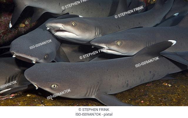 Gaggle of Sharks