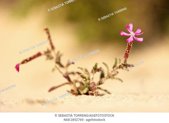 Plant (Silene cambessedesii) at Formentera, Balearic Islands, Spain