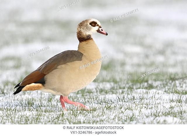 Egyptian Goose / Nilgans (Alopochen aegyptiacus) in winter, walking over snow covered farmland, nice side view, wildlife, Europe