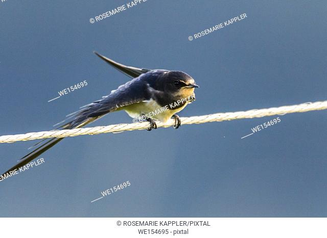 Germany, Saarland, Bexbach - A barn swallow is sitting on a fence