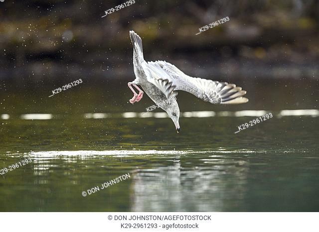 Herring gull (Larus argentatus)- Dive hunting on the Chilko River, Chilcotin Wilderness, BC Interior, Canada