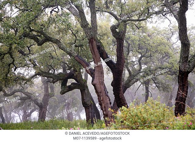 Oaks of Andalucia, cork bark for industrial use
