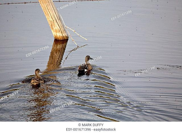 Water birds in Saskatchewan pothole