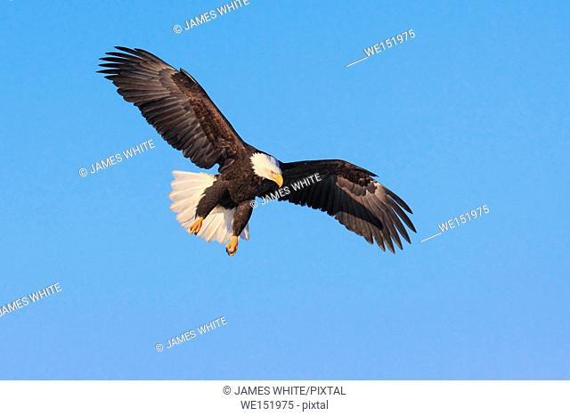 Bald Eagle, Haliaeetus leucocephalus, Alaska, USA