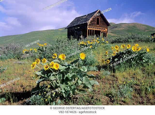 Abandoned homestead with Balsamroot Balsamorhiza deltoidea, Methow Wildlife Area, Washington