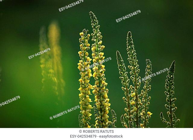 Yellow flowers. Blooming flowers. Mullein on a green grass. Meadow with flowers. Wild flowers on nature green background. Nature flower