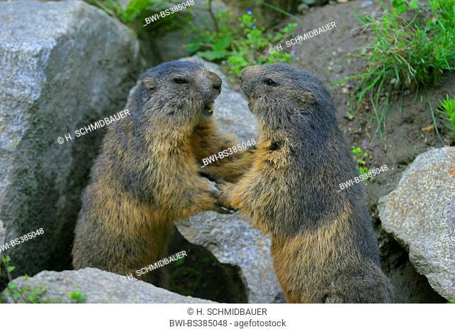 alpine marmot (Marmota marmota), two fighting marmots, Austria