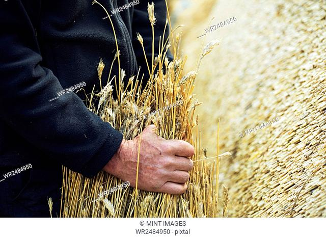 Close up of a thatcher holding a yelm of straw