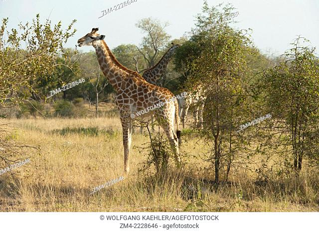 South African Giraffes (Giraffa camelopardalis giraffa) in the Sabi Sands Game Reserve adjacent to the Kruger National Park in South Africa