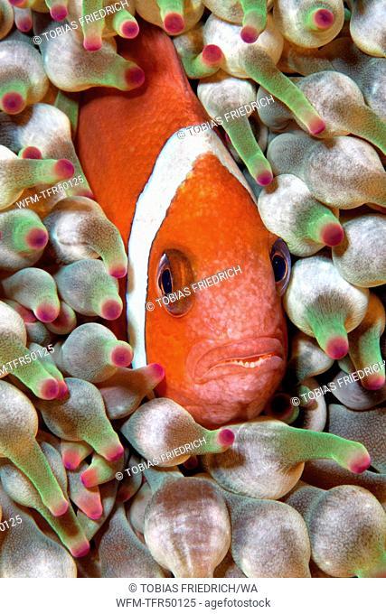 Oman Anemonefish, Amphiprion omanensis, Mirbat, Arabian Sea, Oman