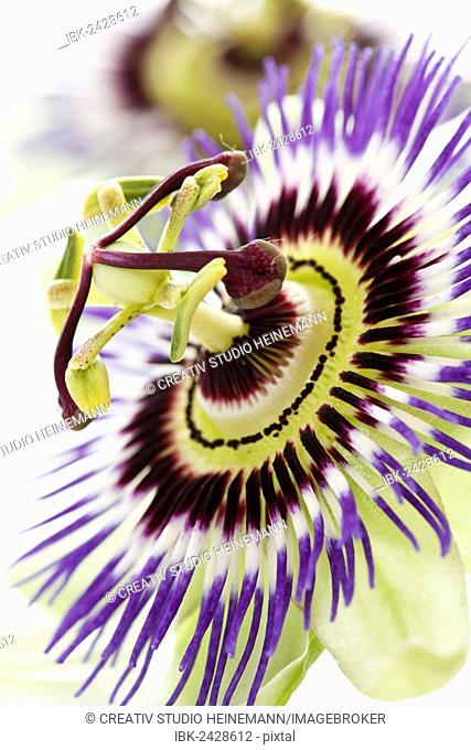 Passionflower (Passiflora)