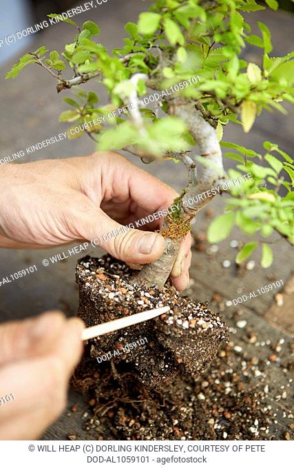 Removing soil from root of bonsai Ulmus parvifolia (Chinese Elm)