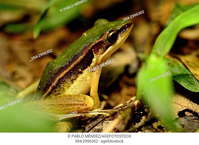 Green frog (Hylarana erythraea) in Kep National Park, Kep, Cambodia
