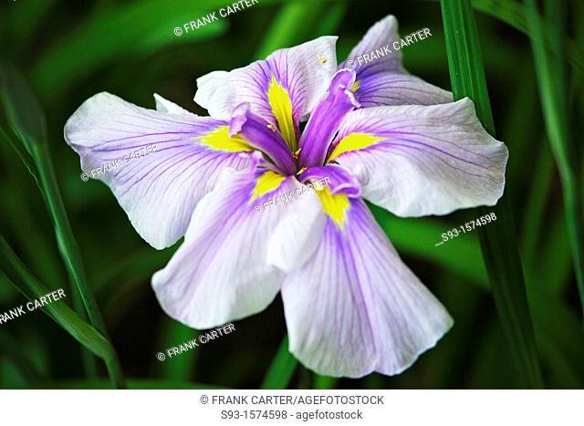 An iris flower in the garden of Heian Shrine