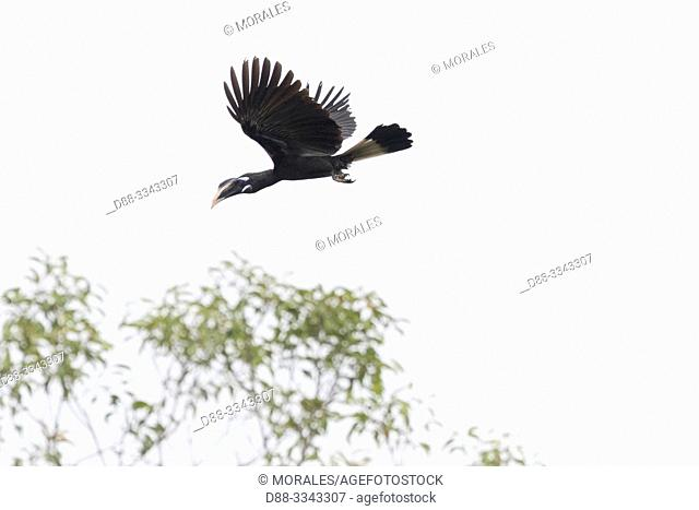 Asia, Indonesia, Borneo, Tanjung Puting National Park, black hornbill (Anthracoceros malayanus), in flight