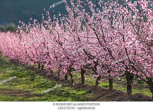 Field of Peach trees (Prunus persica) flowered in early Spring, Fraga, Spain