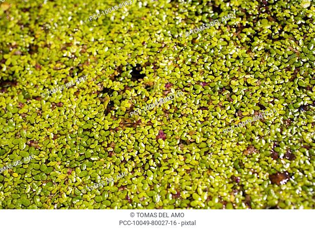 Hundreds of green leaves growing over the top of a pond