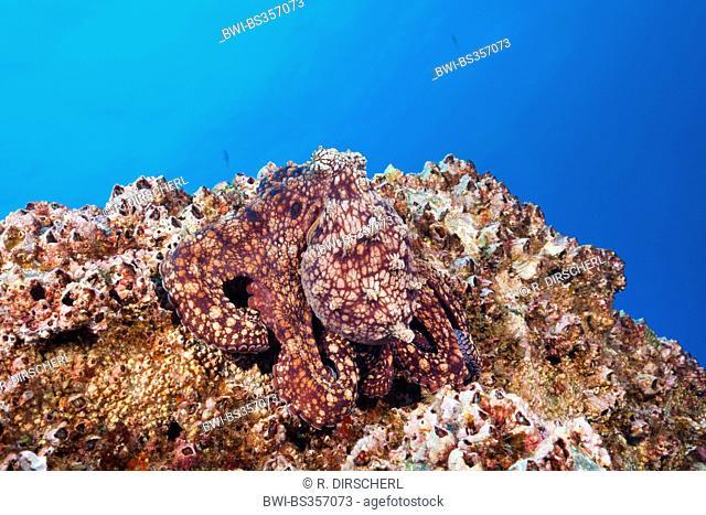 common octopus, common Atlantic octopus, common European octopus (Octopus vulgaris), lying on a rock well camouflaged, Mexico, Baja California