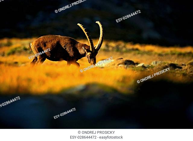 Ibex, Capra ibex, antler alpine animal with coloured rocks in background