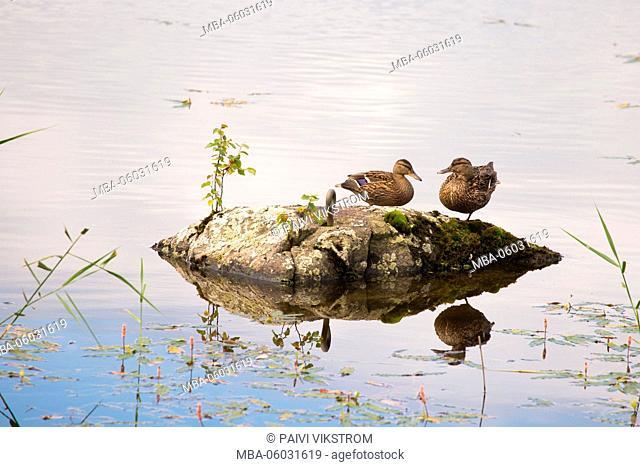 Mallards rest a moment on a rock