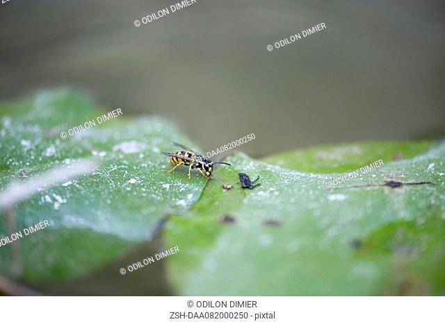 German wasp Vespula germanica on leaf